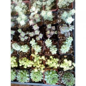 Elizabeth Banks Whohaha-Succulents