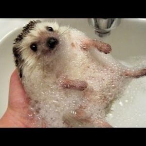 This bathtime hedgehog.